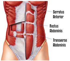 Transverse Abdominus-GymMembershipFees